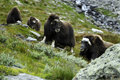 Muskoxen In Countryside Royalty Free Stock Photo - 6388025