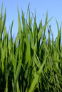 Fresh Green Tall Spring Grass Stock Photos - 6388173