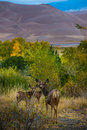 Wild Deer Family Colorado Sand Dunes Wildlife Stock Photo - 63808970