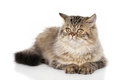 Persian Cat Royalty Free Stock Photo - 63824895