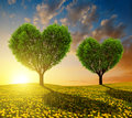Dandelion Fields With Trees In The Shape Of Heart At Sunset. Stock Photography - 63832782