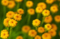 Yellow Flowers Blooms In Spring Time. Stock Photography - 63856562