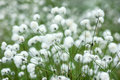 Cotton Grass Royalty Free Stock Photos - 63858928