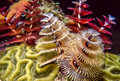 Spirobranchus Giganteus, Christmas Tree Worms Royalty Free Stock Images - 63871439