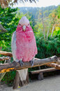 Pink And White Parrot Cacatua Stock Image - 63884491