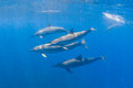 Spinner Dolphin Royalty Free Stock Image - 63933776