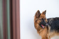 Portrait Of German Shepperd Dog Playing Bite Red Toy Royalty Free Stock Image - 63967296