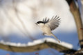 Flying Willow Tit In Winter Forest Royalty Free Stock Image - 63998286