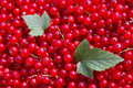 Red Currant Stock Images - 6400174