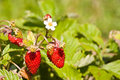 Wild Strawberry Royalty Free Stock Images - 6403689