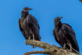 Turkey Vultures, Or Buzzards Royalty Free Stock Photo - 64011595