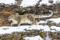 Snow Leopard Royalty Free Stock Photos - 64052938