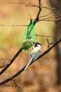 Tomtit Royalty Free Stock Images - 64057259