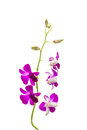Pink Orchid Flower Royalty Free Stock Images - 64063919