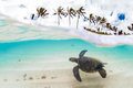 Hawaiian Green Sea Turtle Royalty Free Stock Photography - 64093777