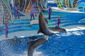 SAN DIEGO, USA - NOVEMBER, 15 2015 - The Dolphin Show At Sea World Stock Photo - 64107140