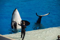SAN DIEGO, USA - NOVEMBER, 15 2015 - The Killer Whale Show At Sea World Stock Photos - 64107163
