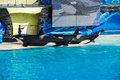SAN DIEGO, USA - NOVEMBER, 15 2015 - The Killer Whale Show At Sea World Stock Photo - 64107330