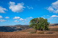Carob Tree In A Field Stock Photography - 64108012