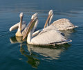 Pelicans Stock Images - 64110294