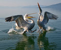Pelicans Royalty Free Stock Image - 64110346