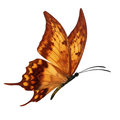 Orang Butterfly Flying Stock Photos - 64140853