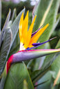 Bird Of Paradise Flower, Strelitzia Reginae Stock Photos - 64160233