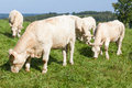 Herd Of White Charolais  Beef Cows In A Mountain Pasture Stock Photos - 64167563
