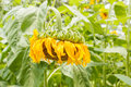 Wilted Sunflower Royalty Free Stock Image - 64202796