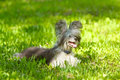 Down Chinese Crested Dog Lying On Green Grass Royalty Free Stock Images - 64222619