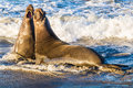 Northern Elephant Seals Royalty Free Stock Photo - 64228175