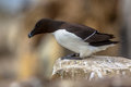 Razorbill Looking Down From Rock Stock Image - 64258371
