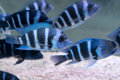 Humphead Cichlid Stock Images - 64267864