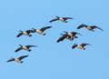Canadian Geese In Flight Royalty Free Stock Image - 64297546
