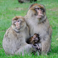 Barbary Macaque Stock Image - 6435671