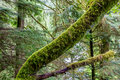 A Mystical Cedar Log Heavily Covered With Moss Royalty Free Stock Images - 64327309