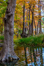 Beautiful Giant Cypress Trees Covered With Fall Foliage In Texas. Stock Image - 64328081