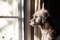 Lonely Dog Looking Out Window Stock Photo - 64372360