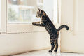 Curious Gray Kitten Looking Outside Through Window Stock Images - 64382284