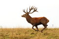 Deer Buck Running Wild Stock Photos - 64387833
