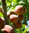 Peaches Royalty Free Stock Photography - 6444707