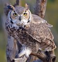 Great Horned Owl Royalty Free Stock Photos - 64453108