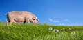 Pig On Green Field Stock Image - 64482541