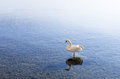 Swan In Lake Ohrid Royalty Free Stock Photo - 64488805