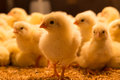One Day Old Chickens Royalty Free Stock Images - 64495119