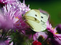 Cabbage White Butterfly Stock Photo - 6457230