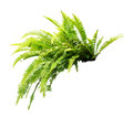 Fern Royalty Free Stock Images - 64502319