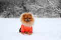 Pomeranian Dog In Snow. Winter Dog. Dog In Snow. Spitz In Winter Forest. Stock Photo - 64538450