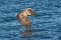 Hunting Sea Eagle Stock Images - 64579424