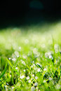 Grass With Dew Drops Royalty Free Stock Images - 6465299